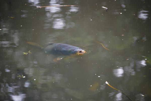 karpervissen in het oppervlak met de korst leer je hier